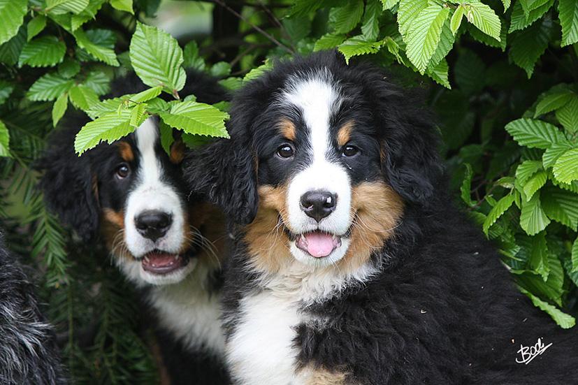 Berner Sennenhunde vom Westfalentor